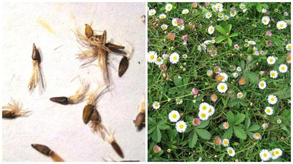 Семена мелколепестника. Фото с сайта flower.wcb.ru. Мелколепестник Карвинского. Фото автора.