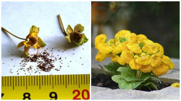 Семена кальцеолярии. Фото с сайта flowersparadiso.forum. Кальцеолярия морщинистая. Фото автора.