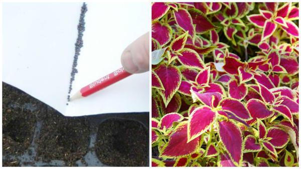 На помощь приходит обыкновенный карандаш. Фото с сайта bookflowers.ru. Так можно высевать мелкие семена колеуса Блюме. Фото автора.