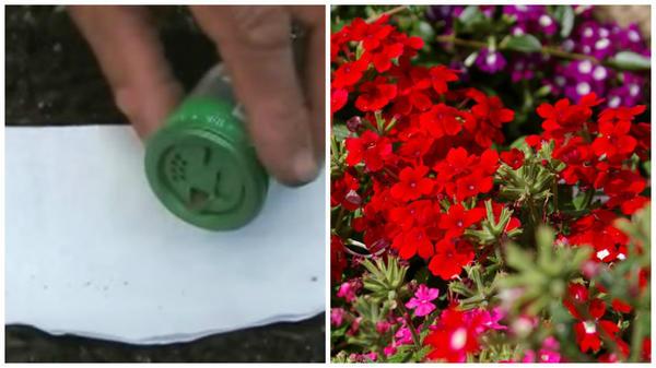 Посев мелких семян с помощью пластикового контейнера с дырочками. Фото с сайта floweryvale.ru Так можно посеять мелкие семена вербены гибридной. Фото автора.