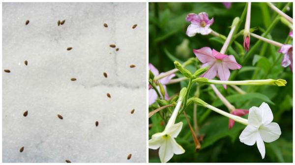 Высеваем по снегу. Фото с сайта floweryvale.ru. Так можно посеять мелкие семена табака крылатого на рассаду. Фото автора.