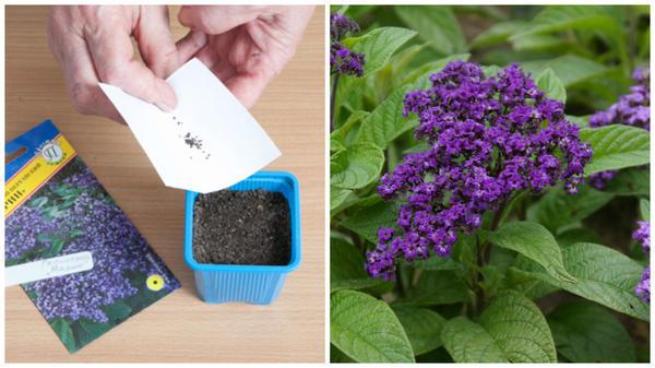 Высеваем с помощью бумаги семена гелиотропа. Фото с сайта supersadovnik.ru. Гелиотроп перуанский. Фото автора.