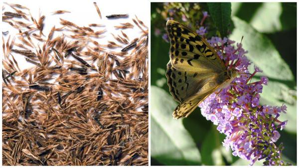 Семена буддлеи. Фото с сайта semenaseeds.ru. Буддлея Давида. Фото автора.