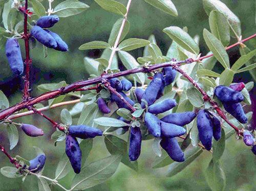 Плоды жимолости сорт Золушка. Фото с сайта sortoved.ru