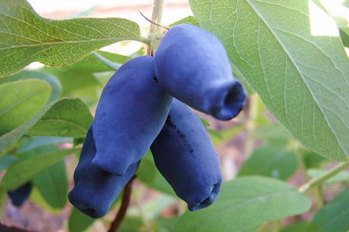 Плоды жимолости сорт Амфора. Фото с сайта sortoved.ru