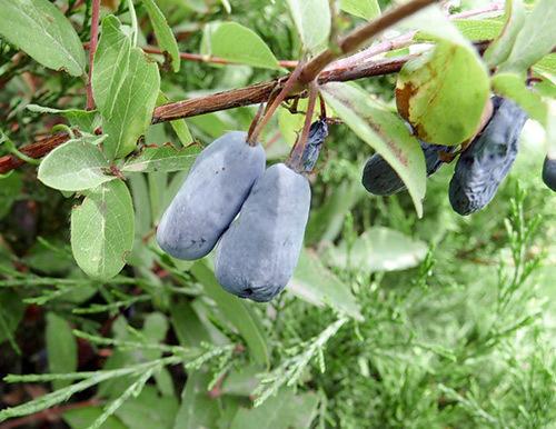 Плоды жимолости сорт Синяя птица. Фото с сайта sortoved.ru