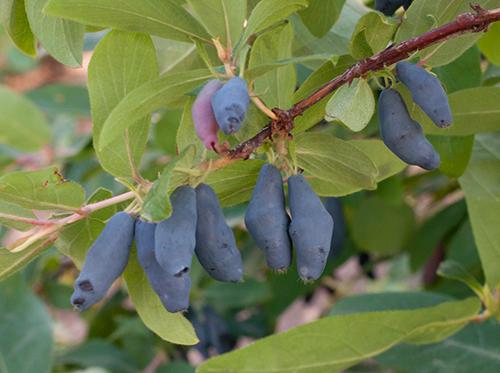 Плоды жимолости сорт Морена. Фото с сайта sortoved.ru