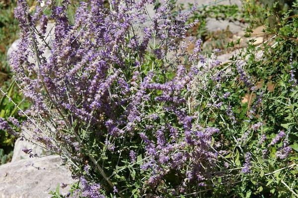 Перовския темноскладколистная в цветении. Фото автора