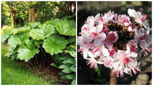 Дармера щитковая. Фото с сайта ru.pinterest.com. Её цветение, фото Светланы (Samdolis)