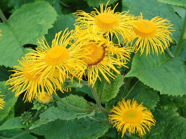 Телекия красивая. Фото с сайта specialplants.net