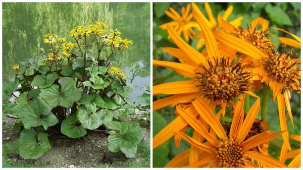 Бузульник зубчатый. Фото с сайта flowers-gardens.net. Его соцветия. Фото с сайта en.wikipedia.org