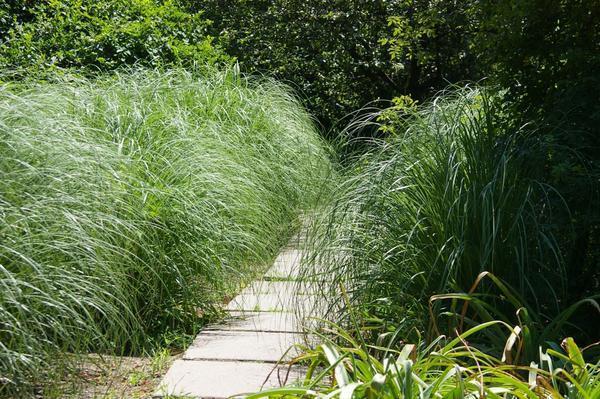Дорожка в обрамлении пампасной травы. Фото автора