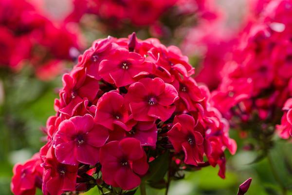 Флоксы - желанные гости для любого цветника