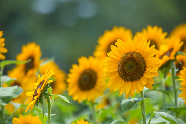 Декоративный подсолнечник - покладистое растение