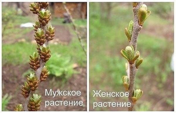 Мужское и женское растение облепихи. Фото с сайта pstroit.ru