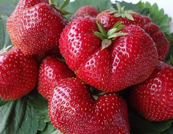 На хорошо удобренной почве ягоды будут крупными. Садовая земляника сорт Вима Тарда
