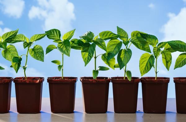 Рассаду нужно подготовить к высадке в открытый грунт