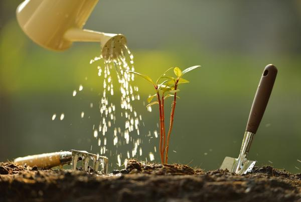 После высадки в грунт рассаду обязательно нужно полить