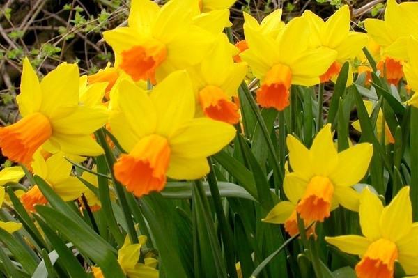 Нарцисс садовый сорт Jetfire. Фото с сайта ashridgetrees.co.uk