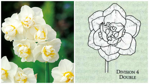 Нарцисс садовый сорт Cheerfullness. Фото с сайта suttons.co.uk. Цветок-эталон 4 группы, рисунок Encyclopedia of garden plants