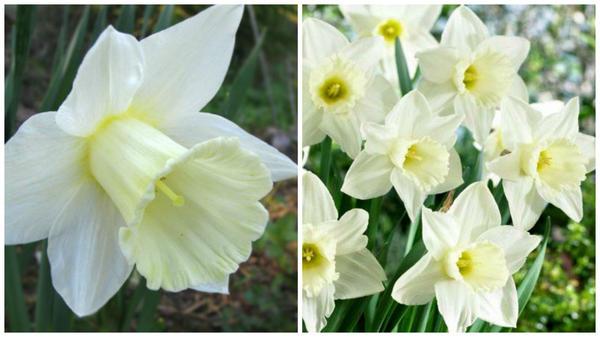 Нарцисс садовый сорт Mount Hood, цветок крупным планом. Фото с сайта rivendel.by. Общий вид. Фото с сайта violet.kiev.ua