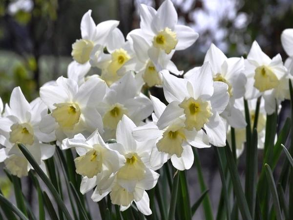 Нарцисс садовый сорт Tresamble. Фото с сайта irgardencentre.com