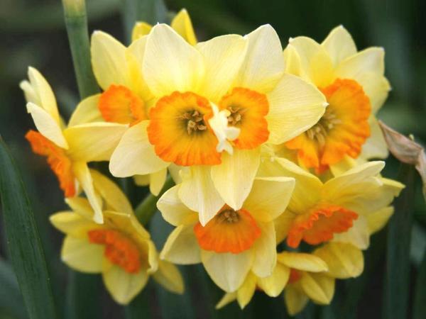 Нарцисс садовый сорт Suzy. Фото с сайта flickr.com