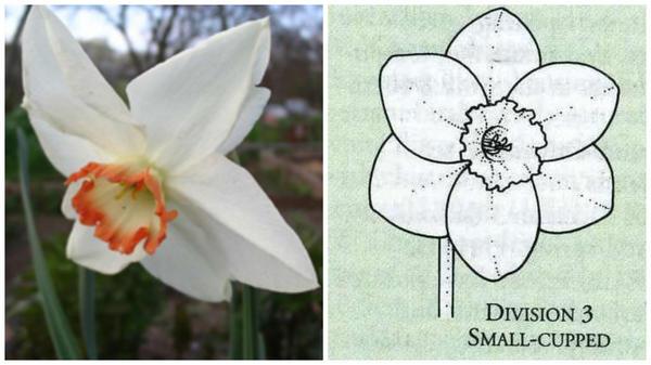 Нарцисс садовый сорт Audubon. Фото с сайта pro-landshaft.ru Цветок-эталон 3 группы, рисунок Encyclopedia of garden plants