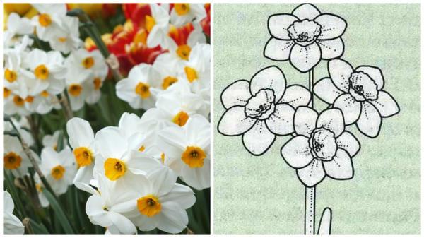 Нарцисс садовый сорт Geranium. Фото с сайта vanengelen.com. Цветок-эталон 8 группы, рисунок Encyclopedia of garden plants