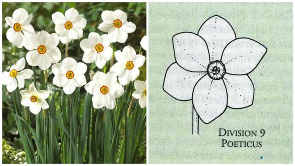 Нарцисс садовый сорт Actaea. Фото с сайта vanengelen.com. Цветок-эталон 9 группы, рисунок Encyclopedia of garden plants