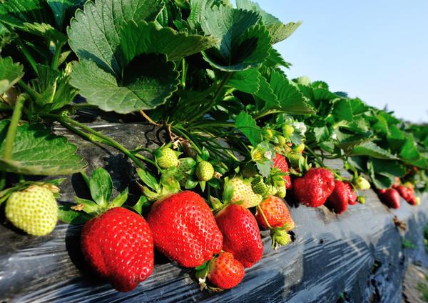Хоней - высокоурожайный сорт садовой земляники