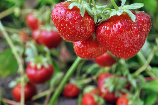 Сорт Эльвира может расти на холодных и влажных участках