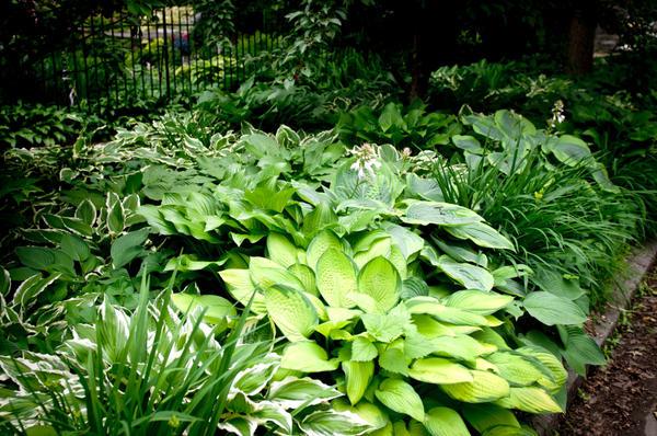 Хоста - достойное украшение тенистых уголков сада