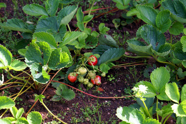 Мужские растения клубники активно образуют воздушные побеги - усы