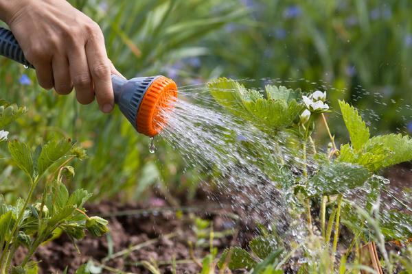 Садовая земляника нуждается в регулярном поливе