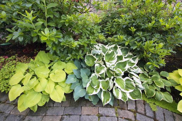 Хосты украсят тенистые садовые дорожки