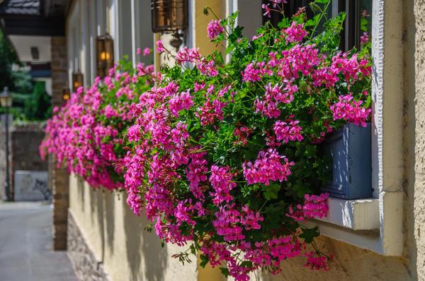 Геранью издавна украшали балконы, беседки и садовые участки