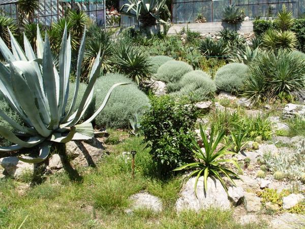 Сантолина кипарисовидная в мексиканском саду