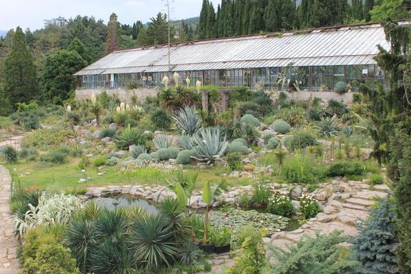 Круглые шары сантолины в мексиканском саду. Фото автора