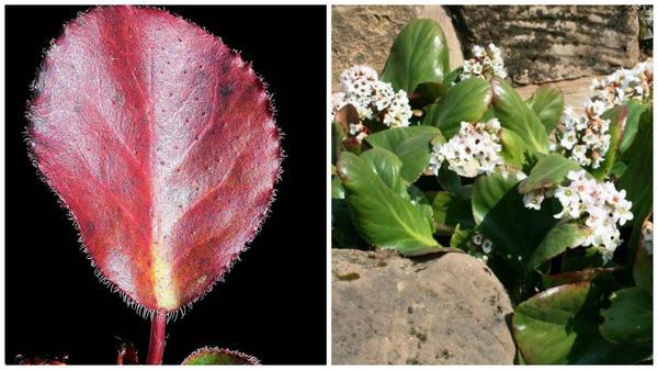 Бадан краснеющий, лист, фото Эльнуры Абдыкеримовой. Бадан Bressingham White. Фото с сайта boskoops.nl