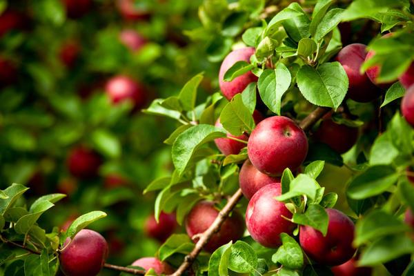 Калий способствует увеличению урожайности , повышает сопротивляемость заболеваниям