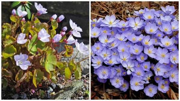 Джефферсония сомнительная, внешний вид. Фото с сайта alpinegardensociety.net. Её цветки. Фото с сайта super-ogorod.ru