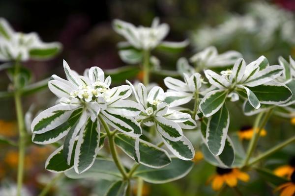 Молочай окаймлённый (Euphorbia marginata)