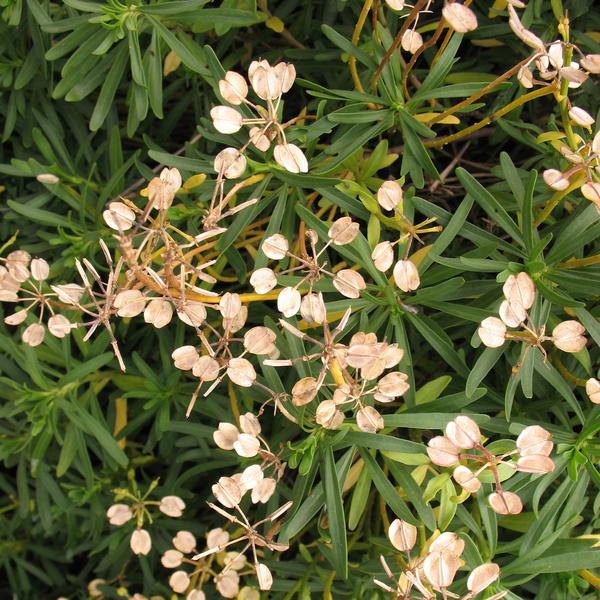 Плоды молочая кипарисового - трехгнездные коробочки с семенами