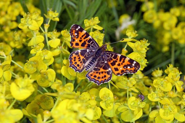 Цветки молочая кипарисового отличаются сильным ароматом