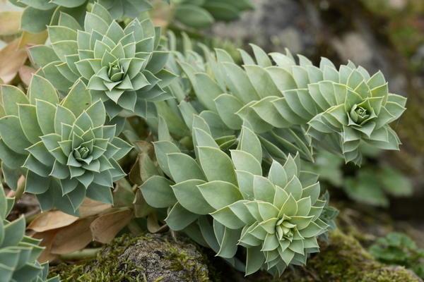 Молочай миртолистный, или мирсинитес (Euphorbia myrsinites)