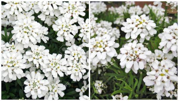 Иберис вечнозеленый Snowflake. Фото сайта 123rf.com. Иберис вечнозеленый Weisser Zwerg. Фото с сайта google.ru