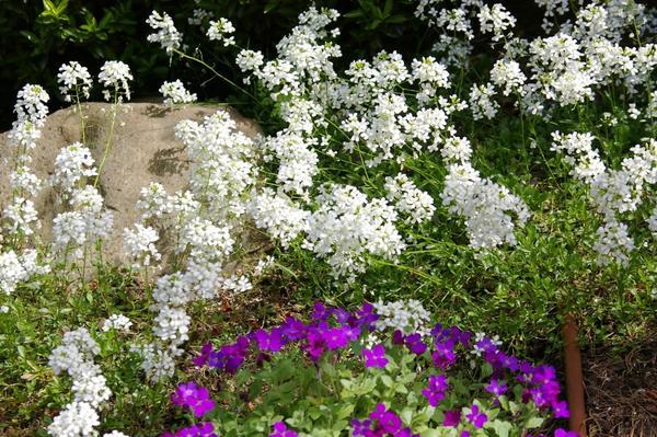 Крылотычиночник крупноцветковый (с белыми цветками), фото автора