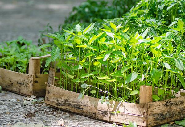 При нехватке питательных веществ в почве хорошего урожая от перца не ждите
