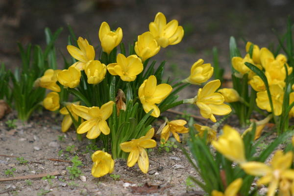 Штернбергия желтая - осеннее чудо, фото автора